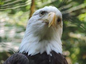 white-tailed-eagle-761727_640